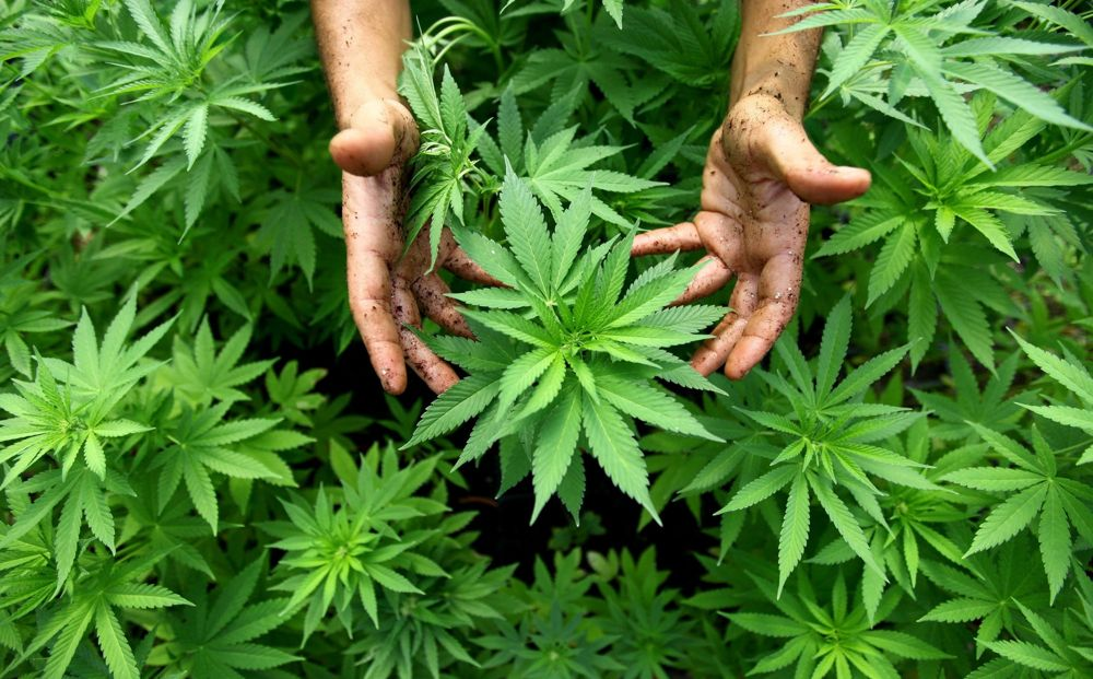Конопля признаки наркотического опьянения видео выращивания конопли гидропоник